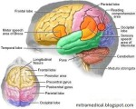 0824lReuGV_struktur-bagian-otak